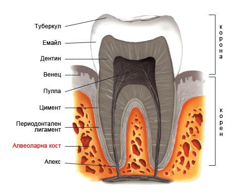 Алвеола